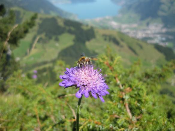 Wild Bee on Mountain Flower