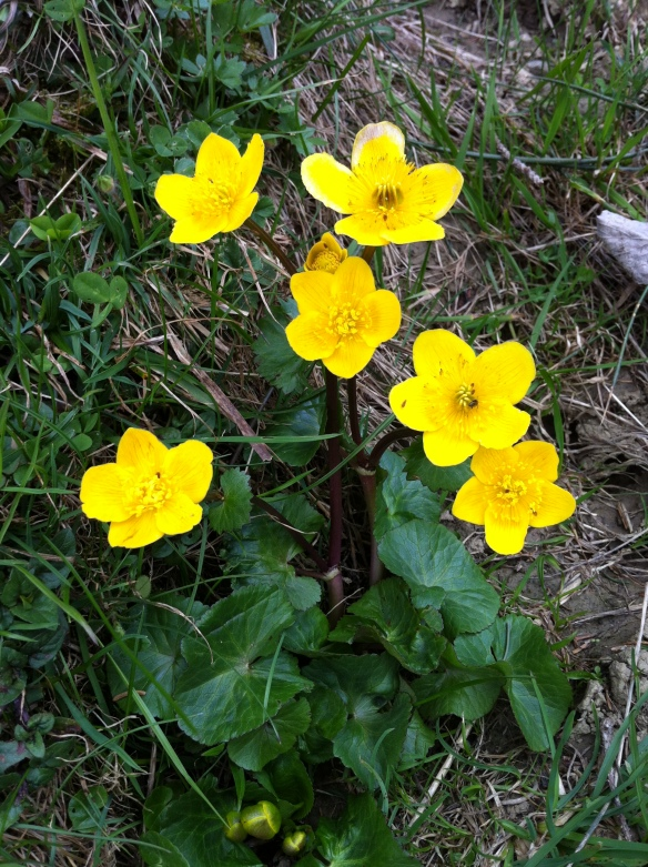 Spring Flowers (Caltha palustris)