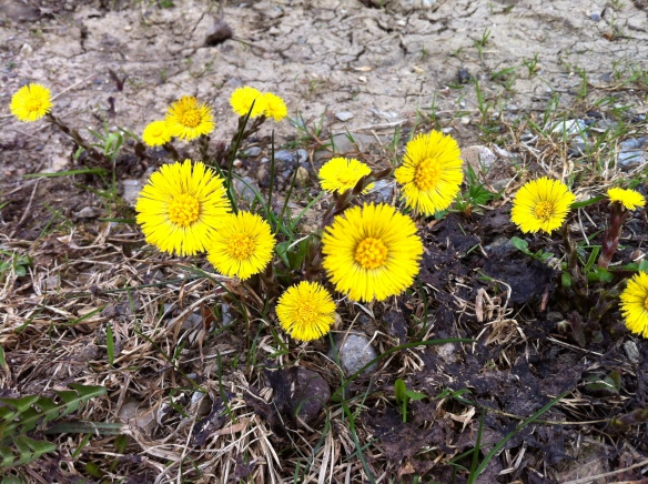 ing Flower (Tussilago)