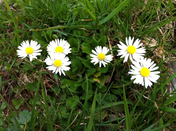Spring Flower (Bellis perennis)