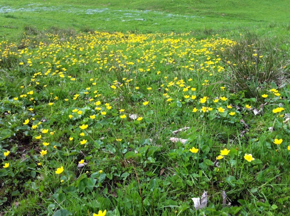 Spring Flowers (Caltha palustris)