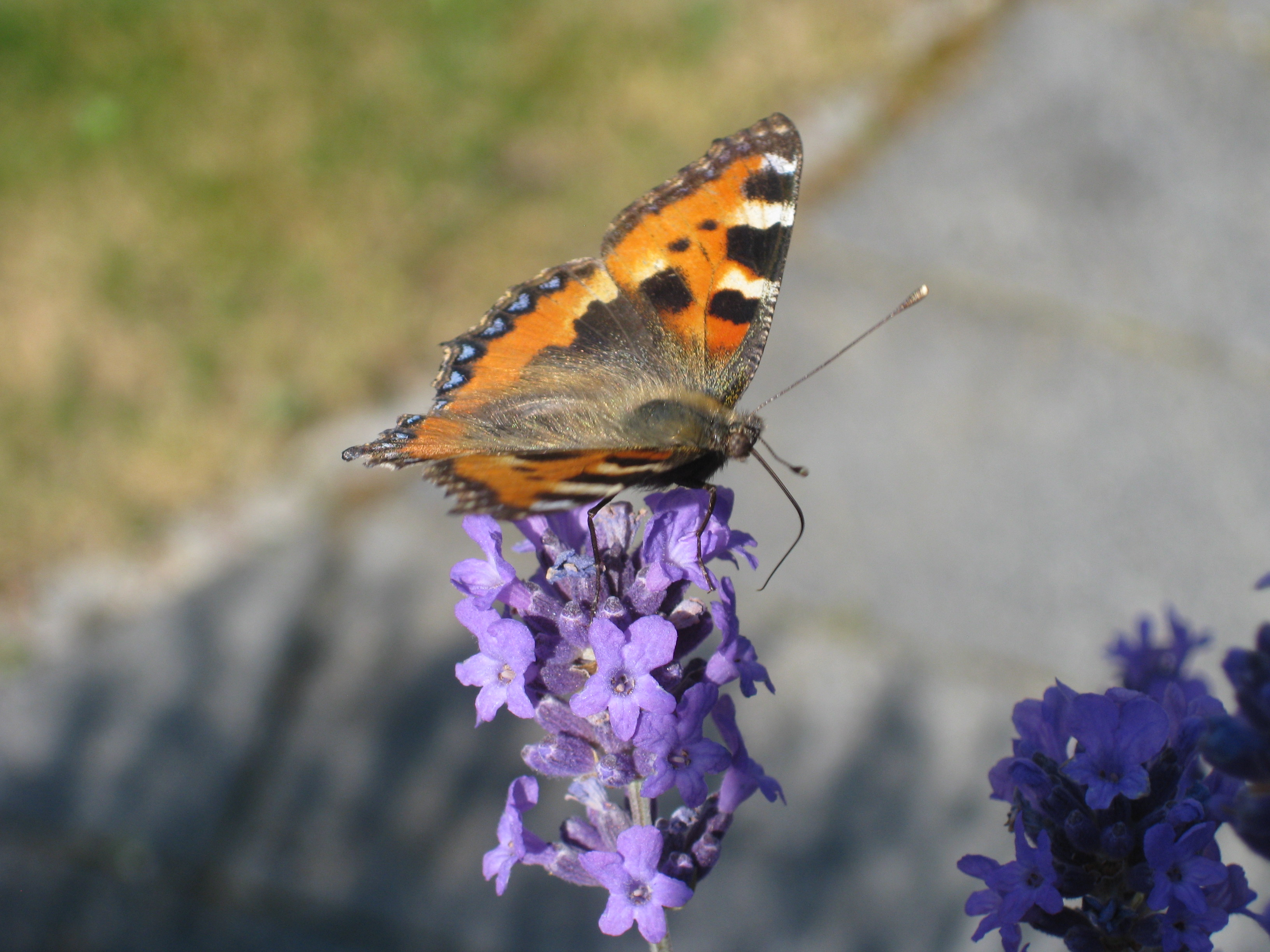 Butterfly - photo#52