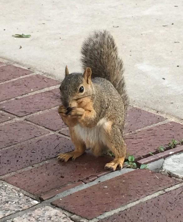 Austin Squirrel