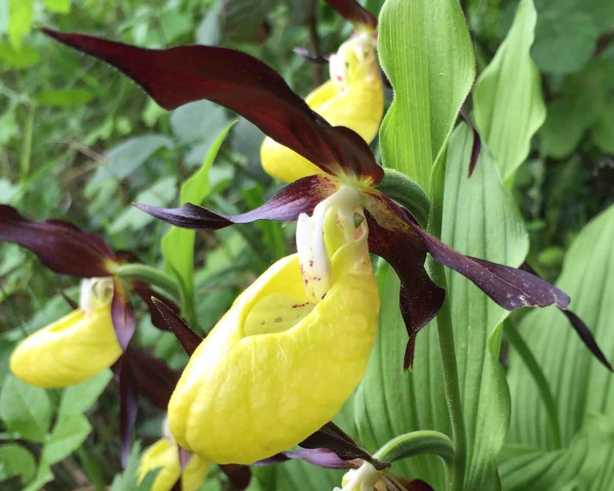 Lady S Slipper Orchid Cypripedium Calceolus Mcu On Eclipse