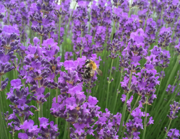 Bee with Lavandula