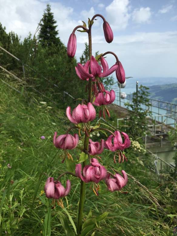 Lilium Martagon on Rigi Scheidegg