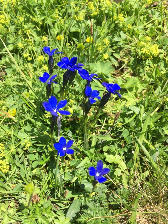 Alpina Flora