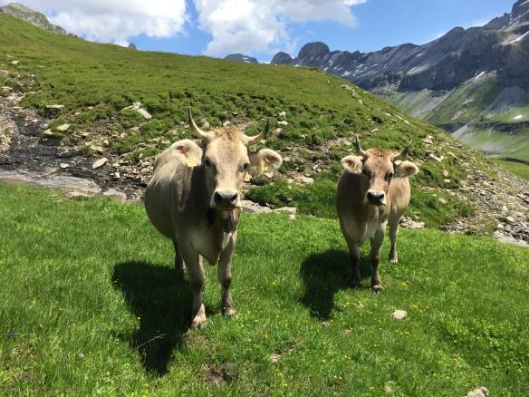 Kühe auf Glattalp